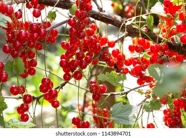 Currant plant. Red currants on a branch in the garden. Ripe berries of red currants growing. Background of red currant.