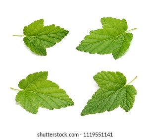 Currant tree leaf set isolated on white background