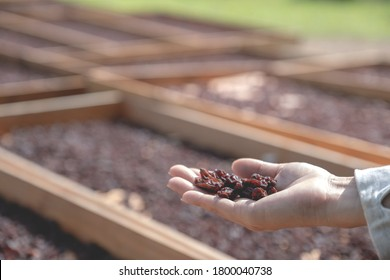 Currant in young woman hand in front of organic raisin drying yard.