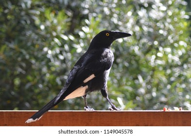 A currawong is being fed on a wooden fence. He is standing in profile, against a background of green. His feathers are a black with white on his wings, belly and tail, and yellow around his eye.