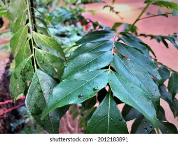 Curry leaves are the foliage of the curry tree (Murraya koenigii). This tree is native to India, and its leaves are used for both medicinal and culinary applications.