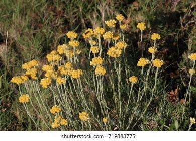 Curry plant flower, Helichrysum italicum