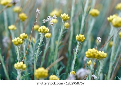 Curry Plant, Herb of St. John, Immortelle and botanically, Helichrysum arenarium, yellow flower growing happily on sand and rock in Crete, Greece