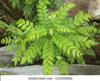 Curry Tree; ( Botanical Name:Murraya koenigii) The curry tree is a tropical to sub-tropical tree in the family Rutaceae, which is native to India and Sri Lanka.