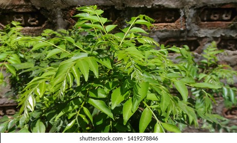 The curry tree (Murraya koenigii) also known as karuveppilai, sweet neem, kadi patta or curry vepila. Family Rutaceae. Often used in curries, the leaves are called curry leaves. Native to India.