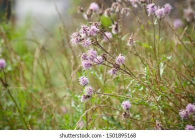 Cursed thistle Cirsium arvense field thistle