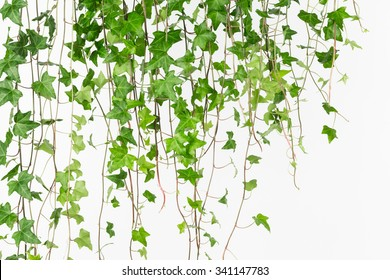 Curtain of bright  green english ivy vines in horizontal composition.