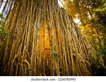 Curtain Fig Tree is a heritage-listed tree at Curtain Fig Tree Road, Yungaburra, Tablelands Region, Australia. It is one of the largest trees in Tropical North Queensland. Sun light glows behind curta