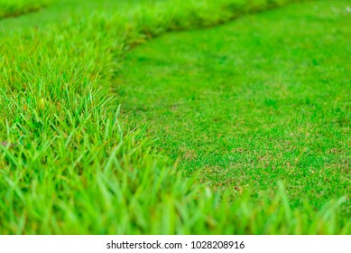 Curve shape of green grass in the field