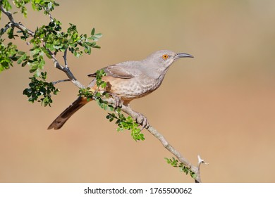 Curve-billed Thrasher on branch (Toxostoma curvirostra), South Texas, USA