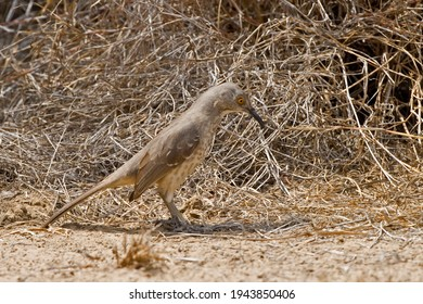 A Curve-billed Thrasher, oxostoma curvirostre, on the ground