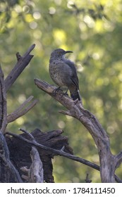 Curve-billed thrasher perched on fallen branch looks over its shoulder at Audubon Paton Center for Hummingbirds in Patagonia, Arizona