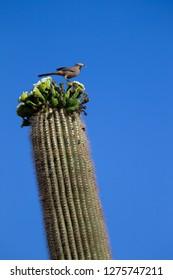 Curve-billed Thrasher (Toxostoma curvirostre), on Saguaro cactus (Carnegiea gigantea), Saguaro National Park, Sonora Desert, Arizona, Tucson, USA.