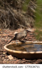a curved bill thrasher drinking water