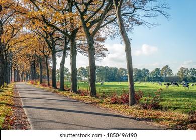 Kurvige Landstraße mit einer Baumreihe in Herbstfarben auf beiden Seiten. Gleich neben der Straße befindet sich eine Wiese mit Weiden, schwarz-weiß Kühe. Es ist ein sonniger Tag in der niederländischen Herbstsaison.