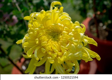 In curved Guldaudi Flower Chrysanthemum