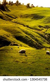 the curved hills of  Waikato, New Zealand
