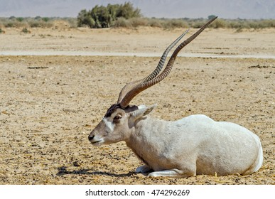 Curved horned antelope Addax (Addax nasomaculatus)  is a wild native species of the Sahara desert which faces danger of extinction. Nowadays it inhabits nature reserve near Eilat, Israel