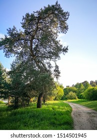 a curved pine tree stands beside the road on a summer Sunny day