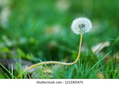 Curved plant (dandelion blowball) on green background
