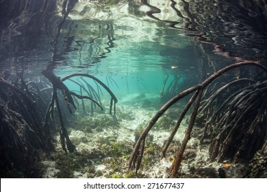 Curved prop roots descend from mangrove trees into the shallow waters of Raja Ampat, Indonesia. Mangroves serve as nurseries for juvenile fish, protect coastlines from erosion and reefs from runoff.