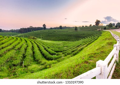 Curved row of tea plantation at evening sunset.