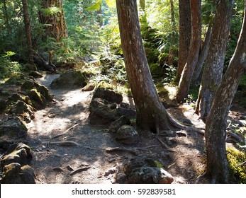 Curved trees beside a dirt path defined by rocks with sun shining through the forest canopy in the woods of Western Oregon near Koosah Falls on the McKenzie River on a fall day.