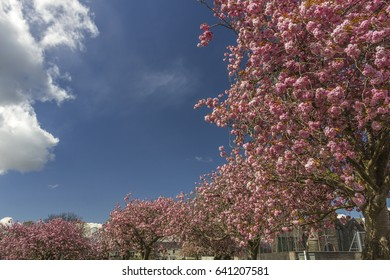 Curving Line of Cherry Trees in Blossom. Lochside Park, Castle Douglas, Dumfries and Galloway, Scotland.