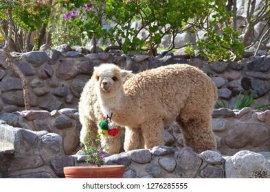 CUSCO / PERU, August 15, 2018: Two llamas eat near Cusco.