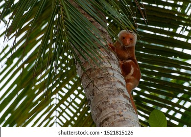 Cuscus indonesian endemic monkey possum portrait while hanging on a tree and looking at you