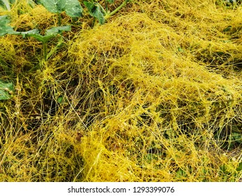 Cuscuta - a plant without chlorophyll. Grows on other plants as a parasite.