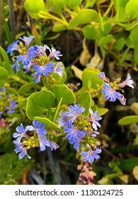 Cushion fanflower, small fan flowers in blue purple growing at Hamelin Bay Beach, Western Australia (Scaevola crassifolia)