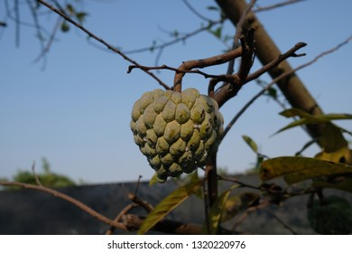 custard apple is the fruit of Annona squamosa and it can be called as sugar apple or sweetsop. The flesh is fragrant and sweet and tastes like custard. The fruit is soft and chewy with a hard skin.