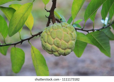 Custard apple growing on tree in nature