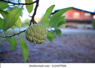 Custard apple growing on tree with thai house