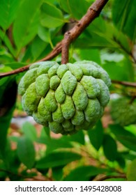 Custard apple is one among the sweetest fruits. Custard applescontain anti-oxidants like Vitamin C, which helps to fight free radicals in our body. Morethan taste i Tg has got mutiple health benefits