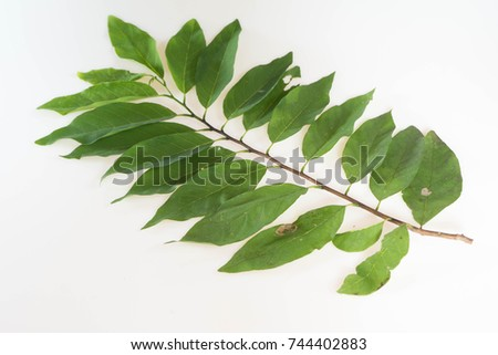 Custard Apple Leaves Images