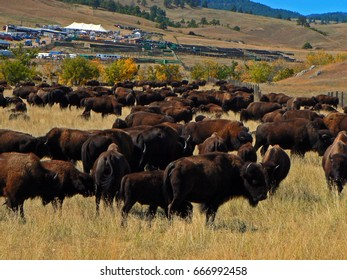 Custer State Park Annual Buffalo Bison Roundup in the Black Hills of South Dakota USA