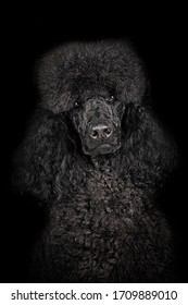 a cut black poodle sits in the studio with a black background