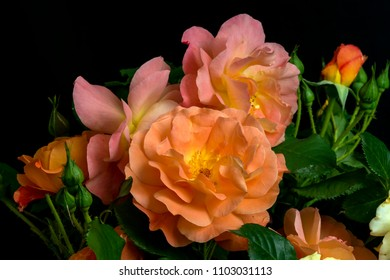 cut blossoming warm mild color springtime roses , shot in front of  a black backdrop, in springtime at Milan, Italy