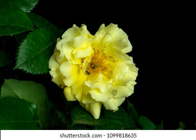 cut blossoming yellow color springtime rose , shot in front of  a black backdrop, in springtime at Milan, Italy