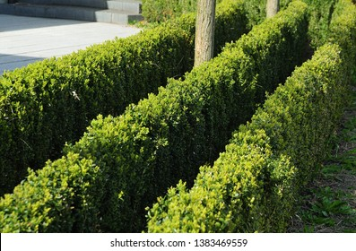 cut box hedges planted in slim parallel rows