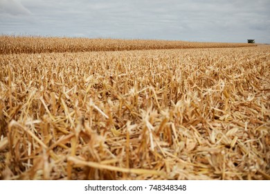 Cut corn stubble and chaff in an autumn field during the harvesting of the maize crop on a grey cloudy day