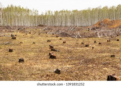 Cut down birch forest, tree stump, a field of idyll. The destruction of nature ecology.