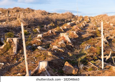 Cut down pine trees for woodland management