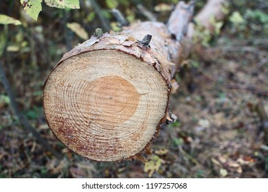 cut down a tree in the forest logs deforestation