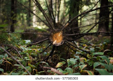 Cut dry tree with branches in a forest