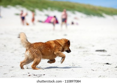 cut Elo puppy running at the beach with a blurred beach scene in the background