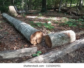 a cut and fallen tree in the woods