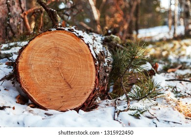 A cut of felled coniferous wood in winter in the forest